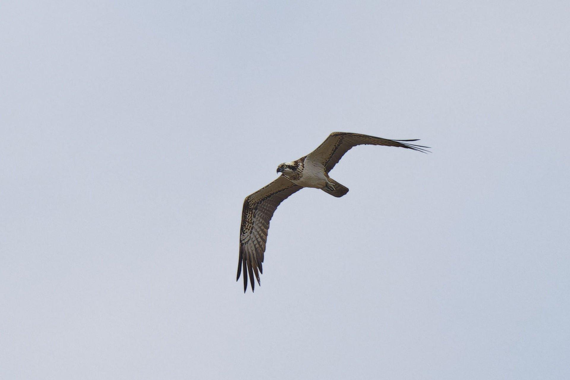 Fischadler, Osprey