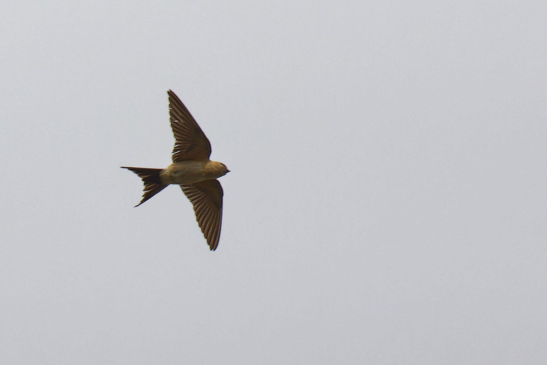 Rötelschwalbe, Red-rumped Swallow